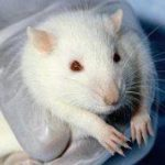 Сладкая жизнь мешает мышам бегать