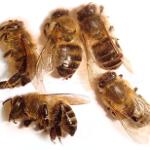 Подмор пчелиный настойка на водке (или спирту): как приготовить, применение