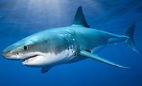 Жир печени акулы: Коралловый клуб, состав, полезные свойства
