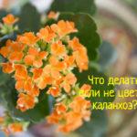 Каланхоэ не растет и не цветет – что делать