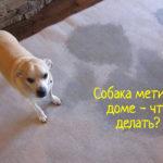 Что делать, если собака метит в квартире