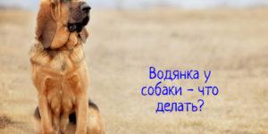У собаки водянка – что делать