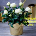 Как вырастить дома гибридные королевские розы