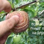 Почему гниют яблоки на дереве – что делать
