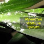 Мучнистый червец на орхидеях - что делать