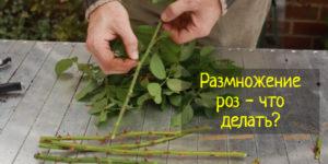 Как размножить розы черенками, семенами и опусканием