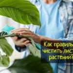 Как чистить листья домашних растений
