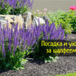 Шалфей – посадка и уход за растением